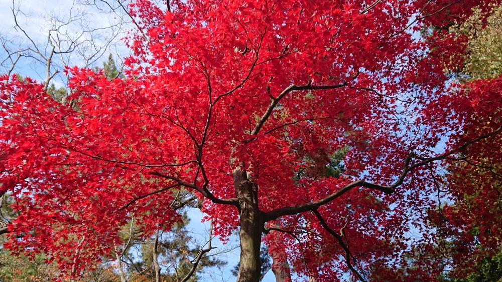 2018年11月24日の兼六園の紅葉