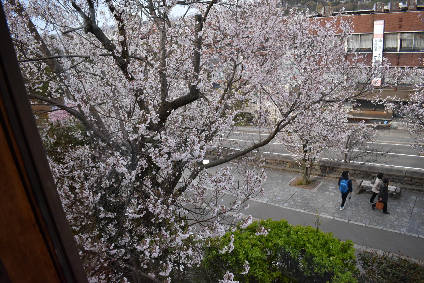 寿亭から見える桜