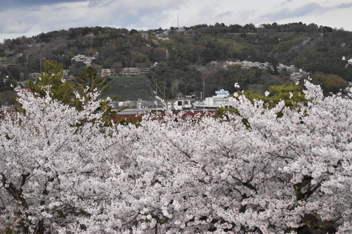 眺望台の桜